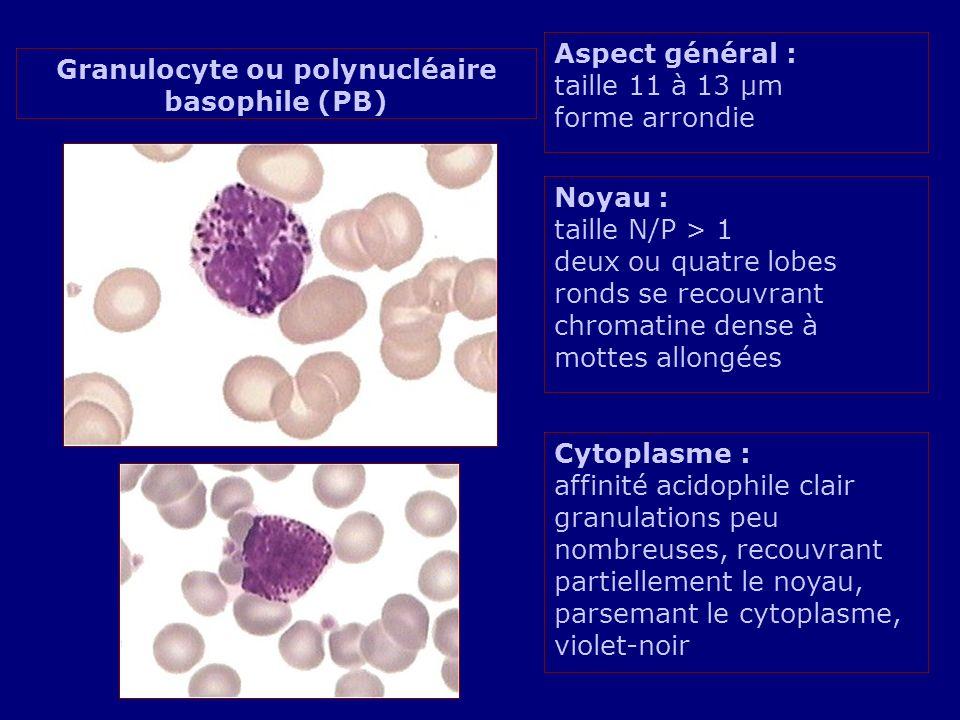Granulocyte ou polynucléaire basophile (PB)