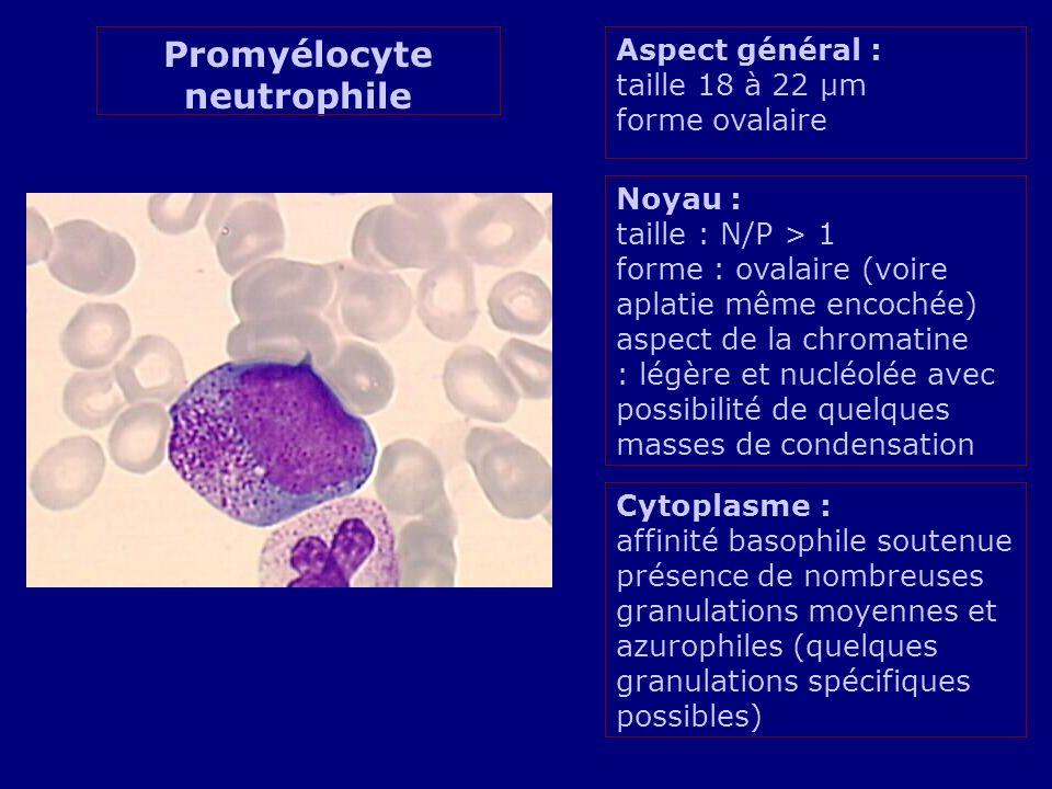 Promyélocyte neutrophile