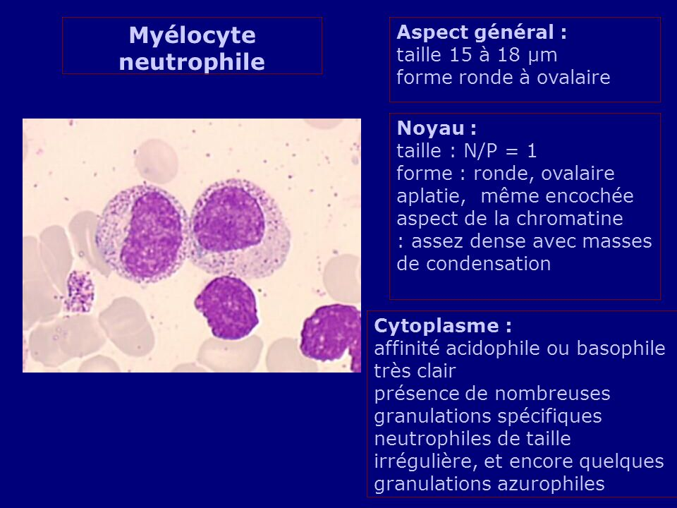 Myélocyte neutrophile