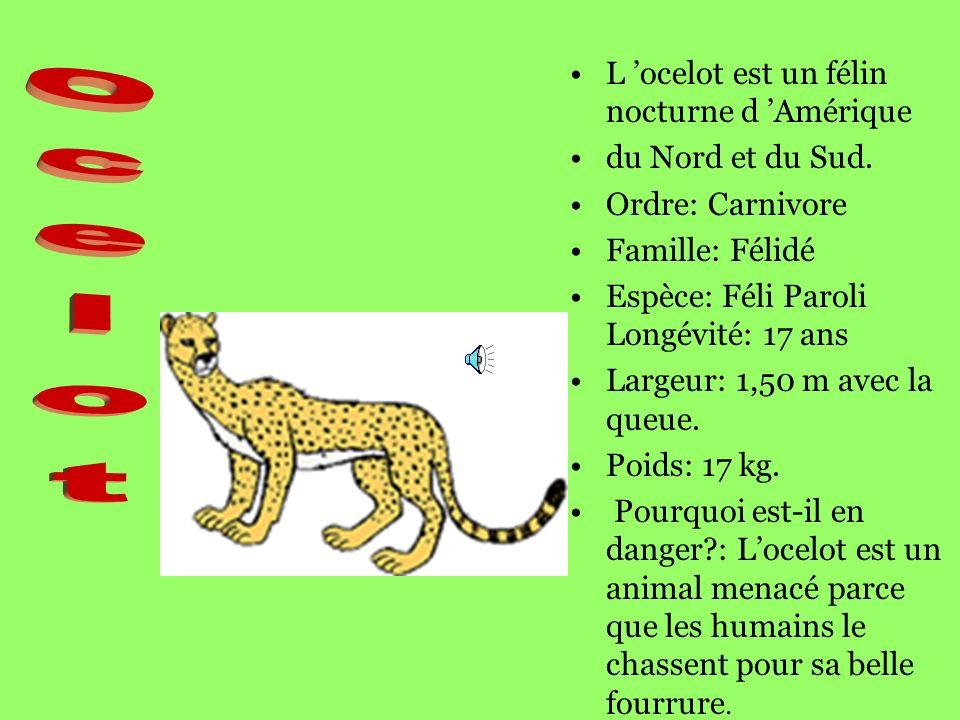 Ocelot L 'ocelot est un félin nocturne d 'Amérique du Nord et du Sud.