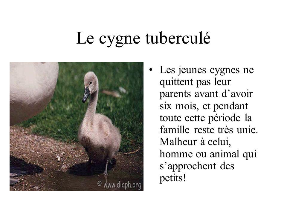 Le cygne tuberculé