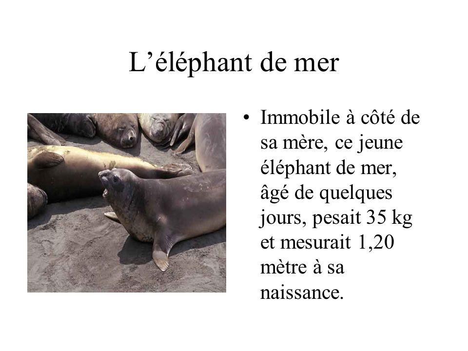 L'éléphant de mer Immobile à côté de sa mère, ce jeune éléphant de mer, âgé de quelques jours, pesait 35 kg et mesurait 1,20 mètre à sa naissance.