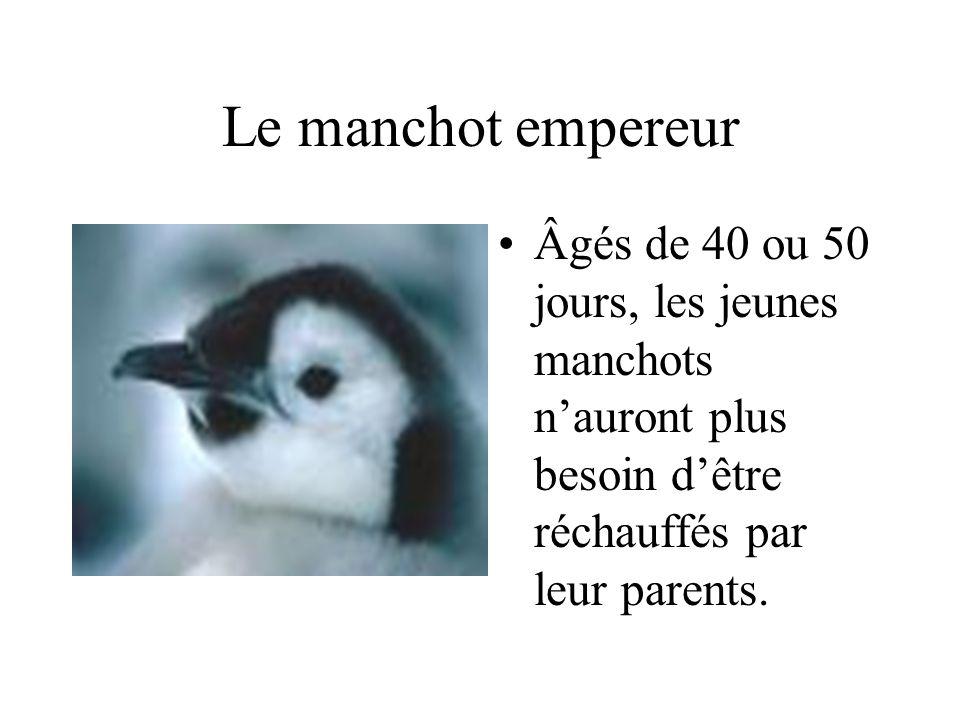 Le manchot empereur Âgés de 40 ou 50 jours, les jeunes manchots n'auront plus besoin d'être réchauffés par leur parents.