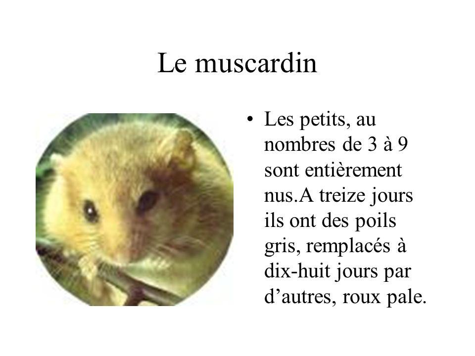 Le muscardin
