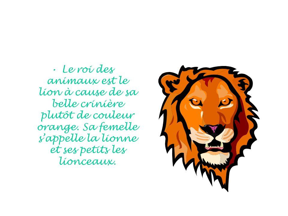 Le roi des animaux est le lion à cause de sa belle crinière plutôt de couleur orange.