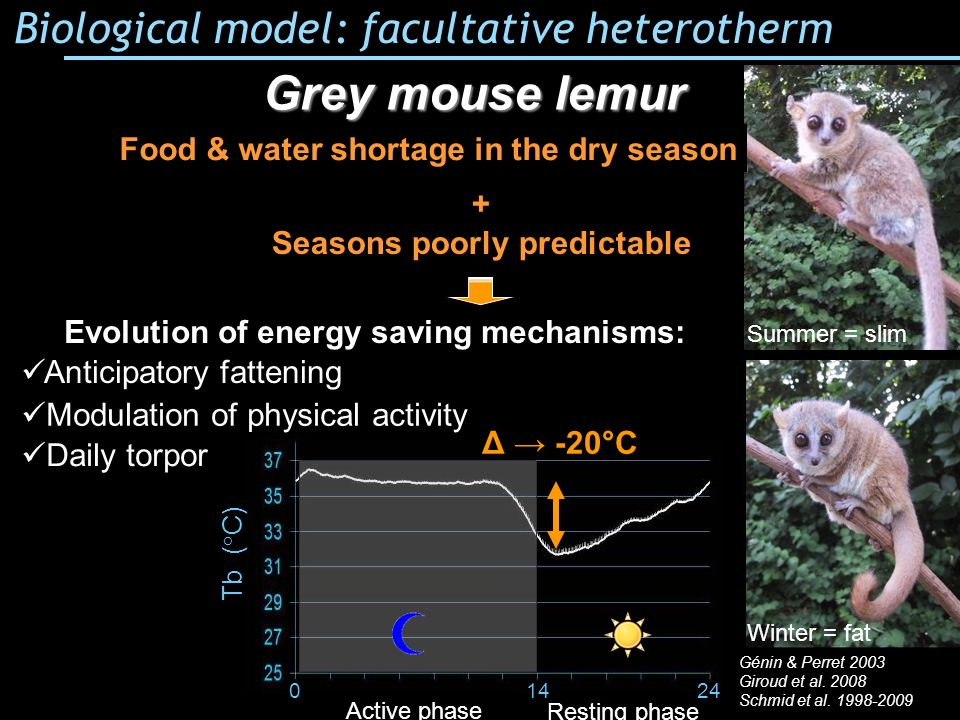 Grey mouse lemur Biological model: facultative heterotherm