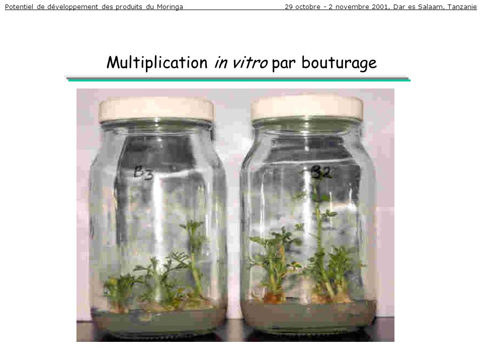 Multiplication in vitro par bouturage