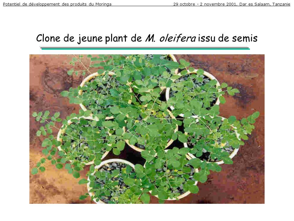 Clone de jeune plant de M. oleifera issu de semis