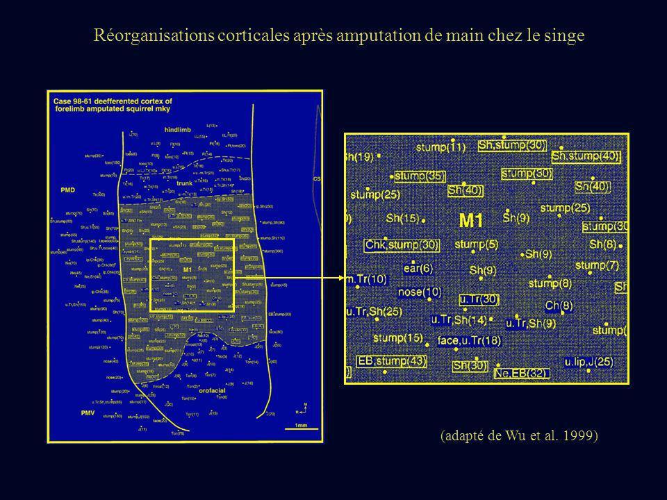 Réorganisations corticales après amputation de main chez le singe