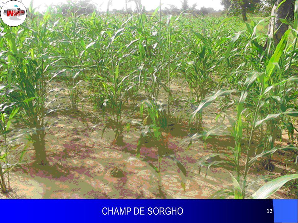 CHAMP DE SORGHO