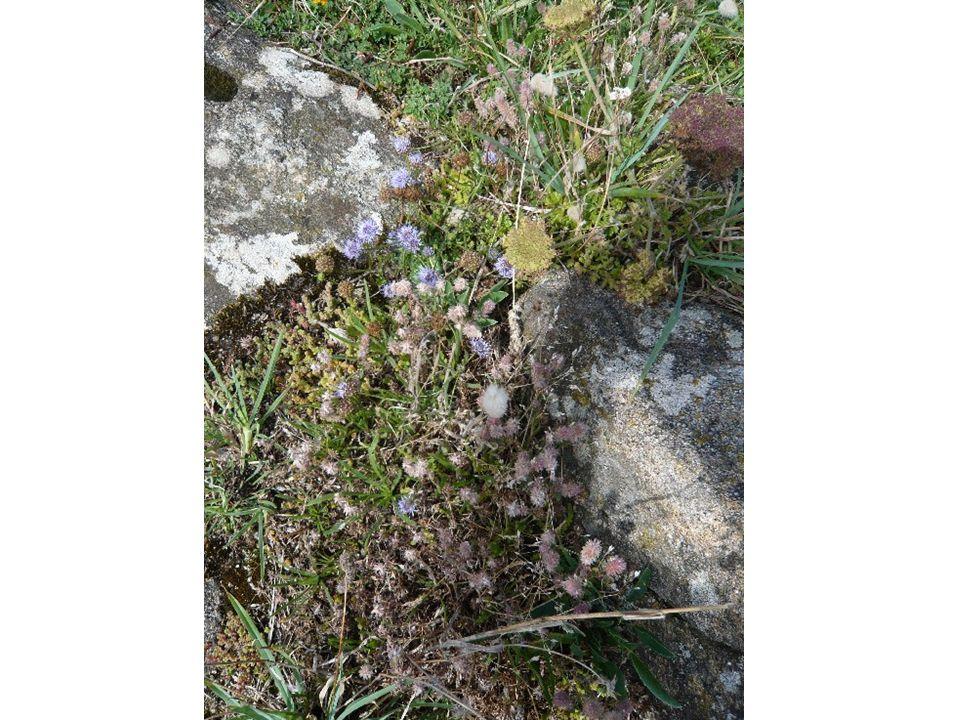 Lichens incrustés sur des rochers.St Briac (juillet 2007).