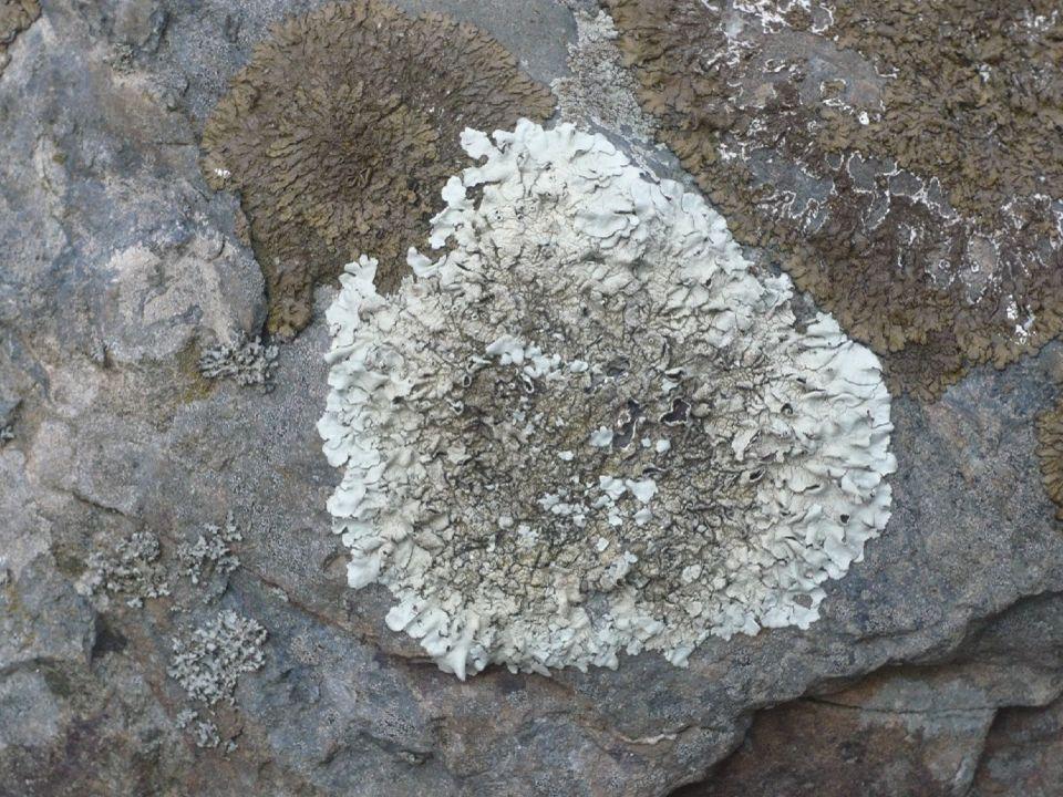 Lichens foliacés, marron et blanc (Parméliacaperata)