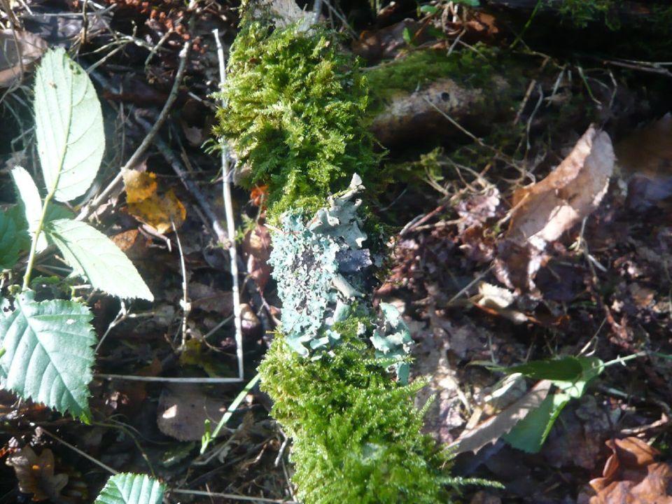 Lichen foliacé entre 2 amas de mousse sur branche morte