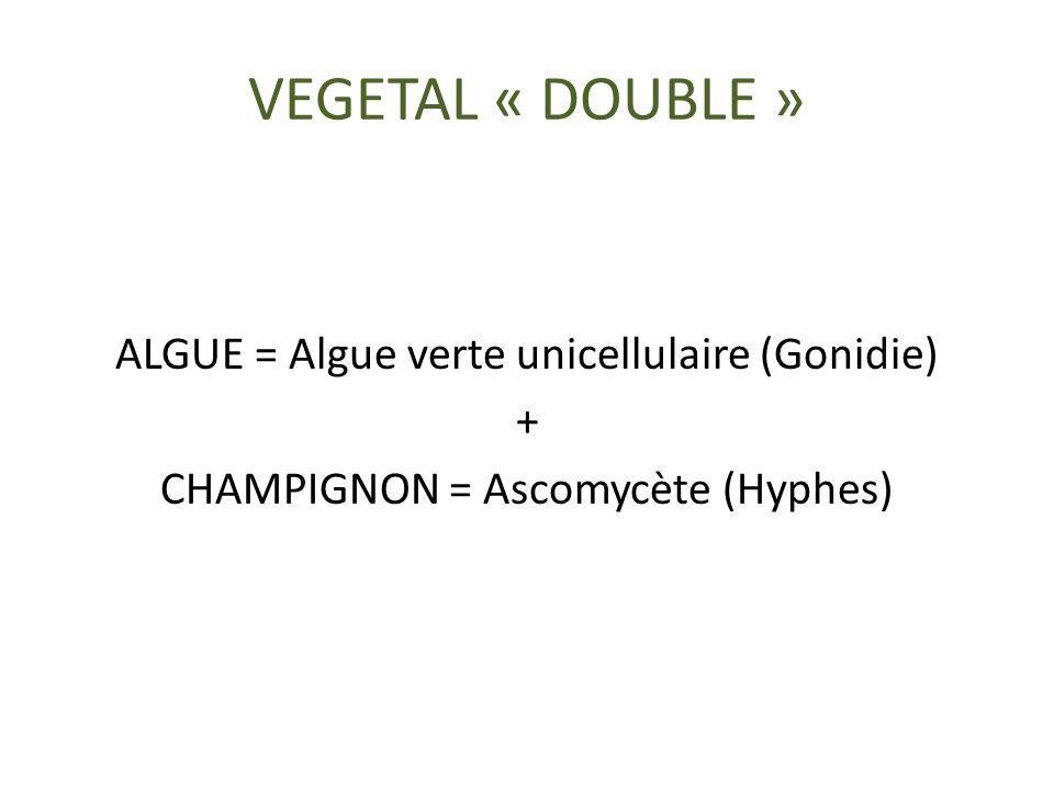 VEGETAL « DOUBLE » ALGUE = Algue verte unicellulaire (Gonidie) +