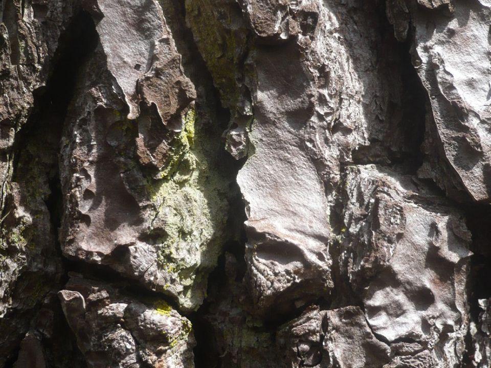 Lichens incrustés sur écorce de pin maritime (= lichen corticole)