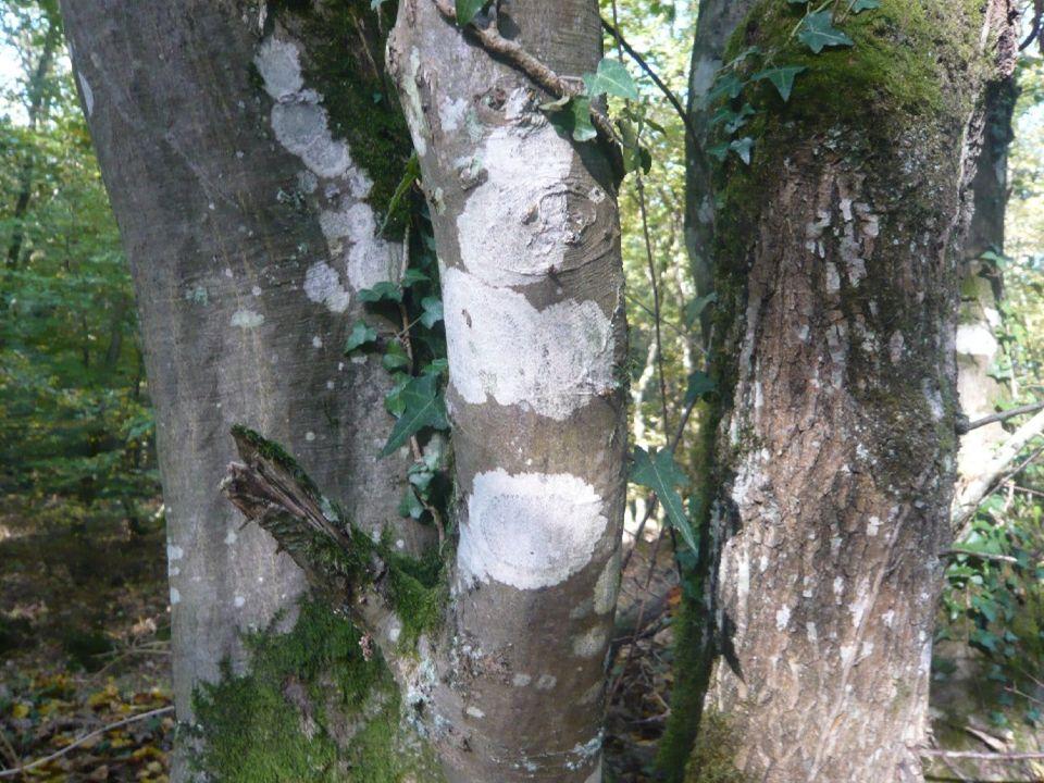Lichens incrustés sur écorce de charme formant des taches circulaires blanches.