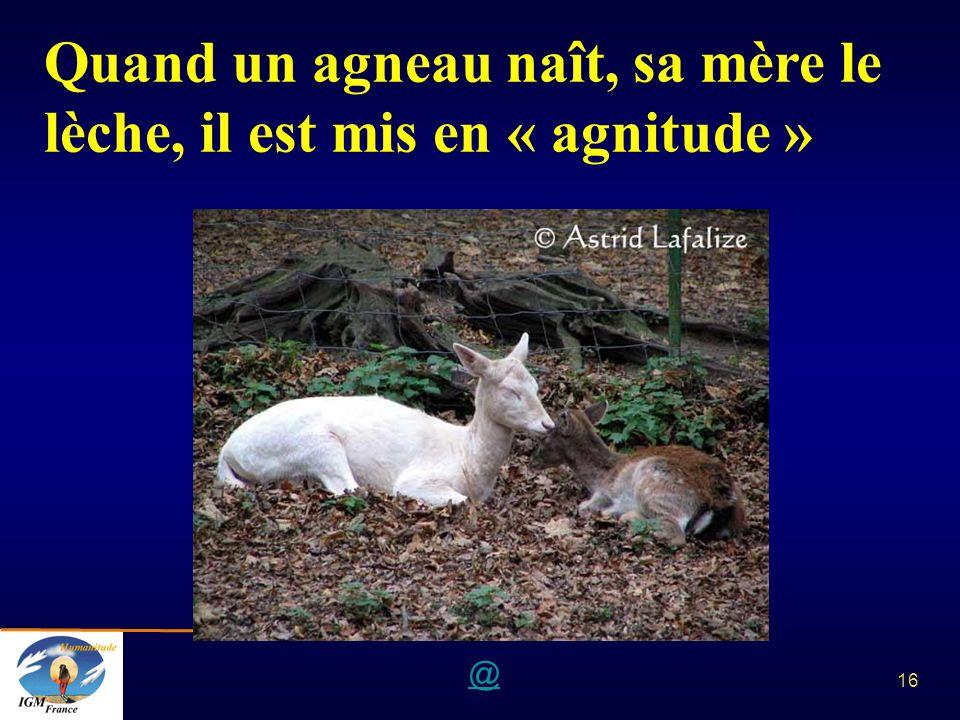 Quand un agneau naît, sa mère le lèche, il est mis en « agnitude »