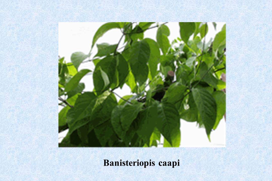 Banisteriopis caapi