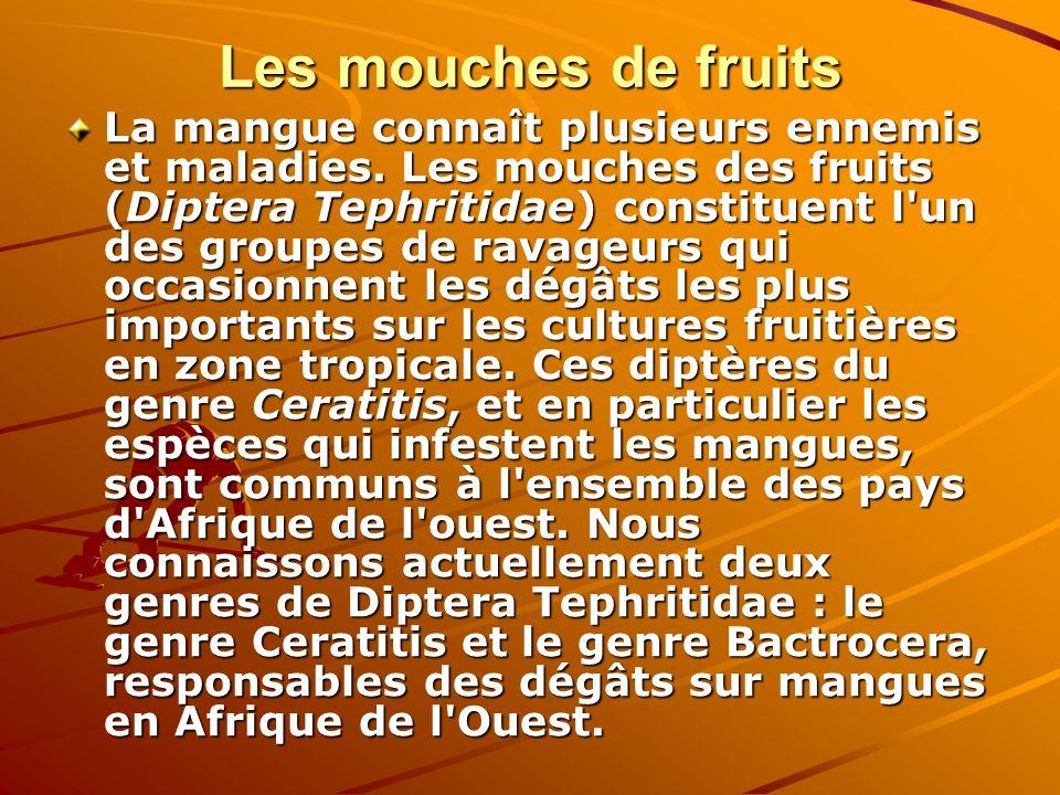 Les mouches de fruits