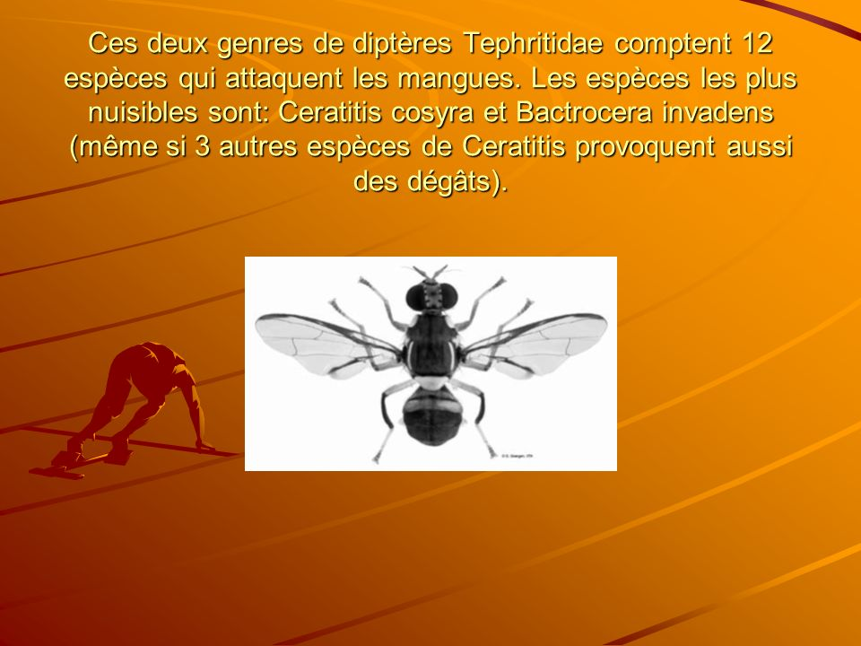 Ces deux genres de diptères Tephritidae comptent 12 espèces qui attaquent les mangues.