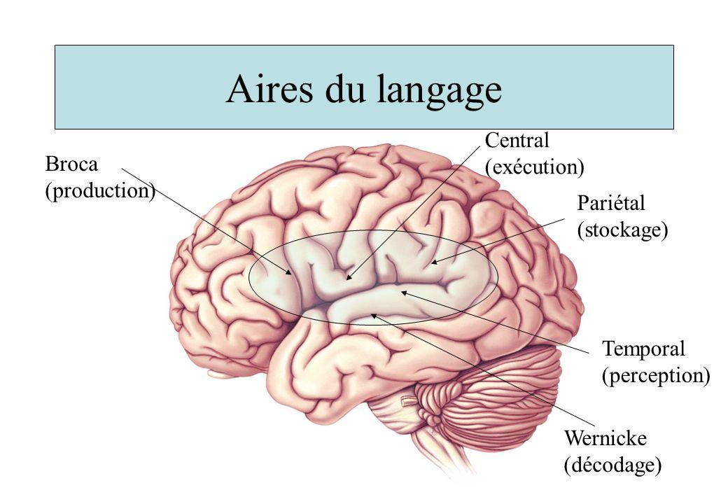 Aires du langage Central (exécution) Broca (production)
