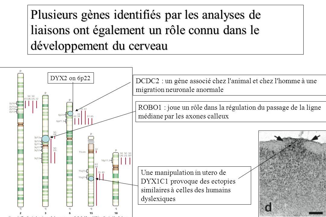 Plusieurs gènes identifiés par les analyses de liaisons ont également un rôle connu dans le développement du cerveau