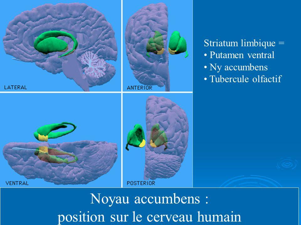 position sur le cerveau humain