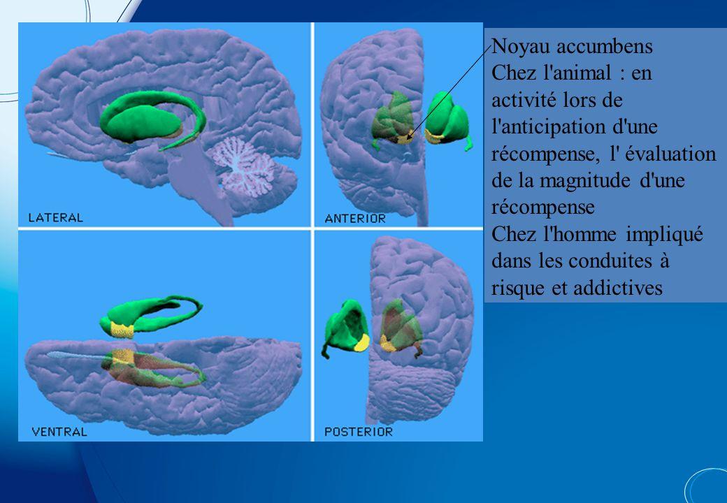 Noyau accumbens Chez l animal : en activité lors de l anticipation d une récompense, l évaluation de la magnitude d une récompense.