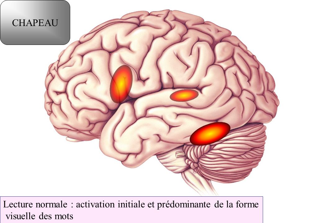 CHAPEAU Lecture normale : activation initiale et prédominante de la forme visuelle des mots