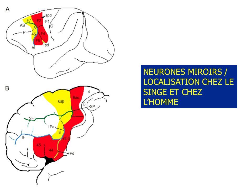 NEURONES MIROIRS / LOCALISATION CHEZ LE SINGE ET CHEZ L'HOMME
