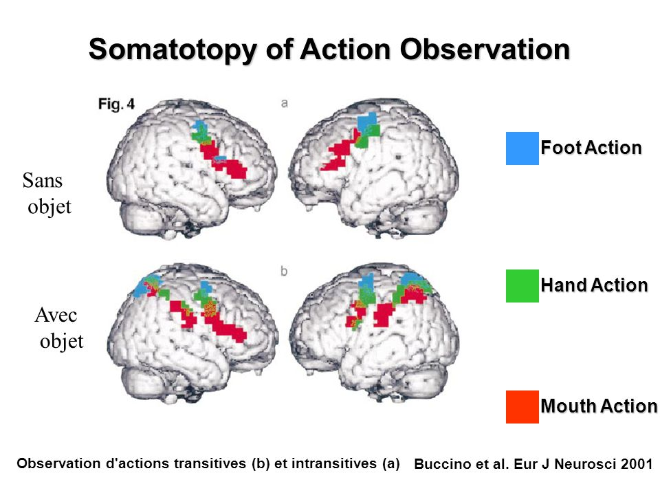 Somatotopy of Action Observation