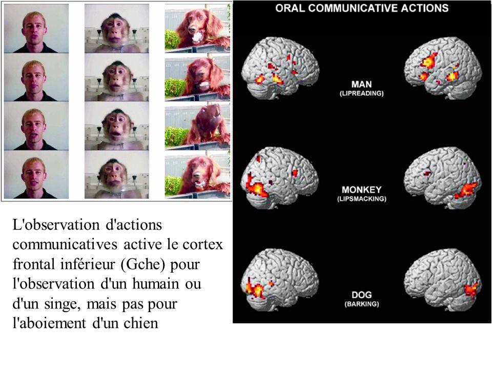 L observation d actions communicatives active le cortex frontal inférieur (Gche) pour l observation d un humain ou d un singe, mais pas pour l aboiement d un chien