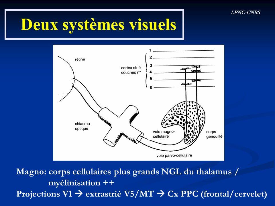 Deux systèmes visuels Magno: corps cellulaires plus grands NGL du thalamus / myélinisation ++