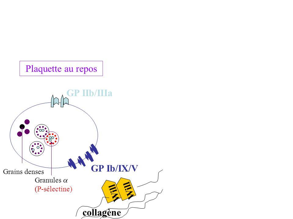 Plaquette au repos GP IIb/IIIa GP Ib/IX/V Will Will collagène
