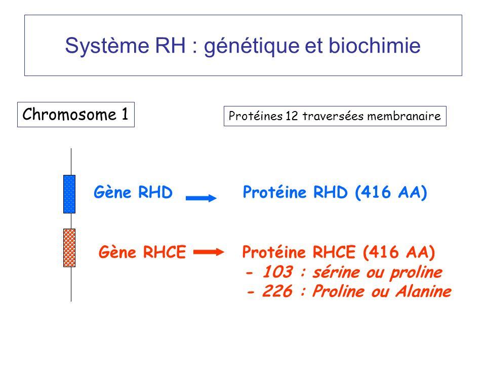 Système RH : génétique et biochimie