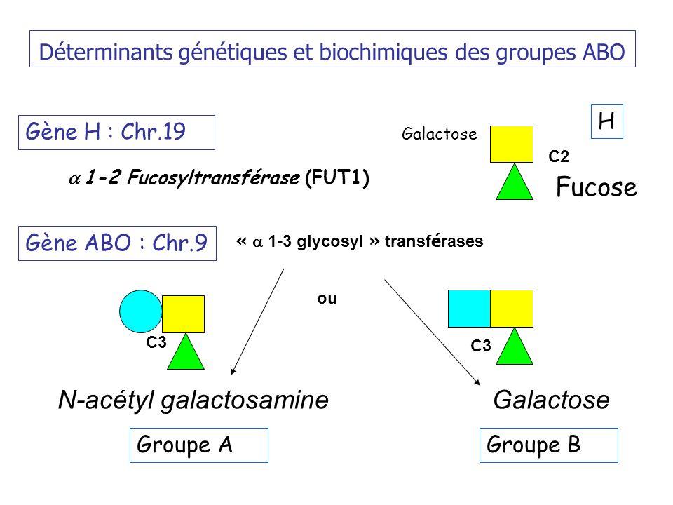 Déterminants génétiques et biochimiques des groupes ABO