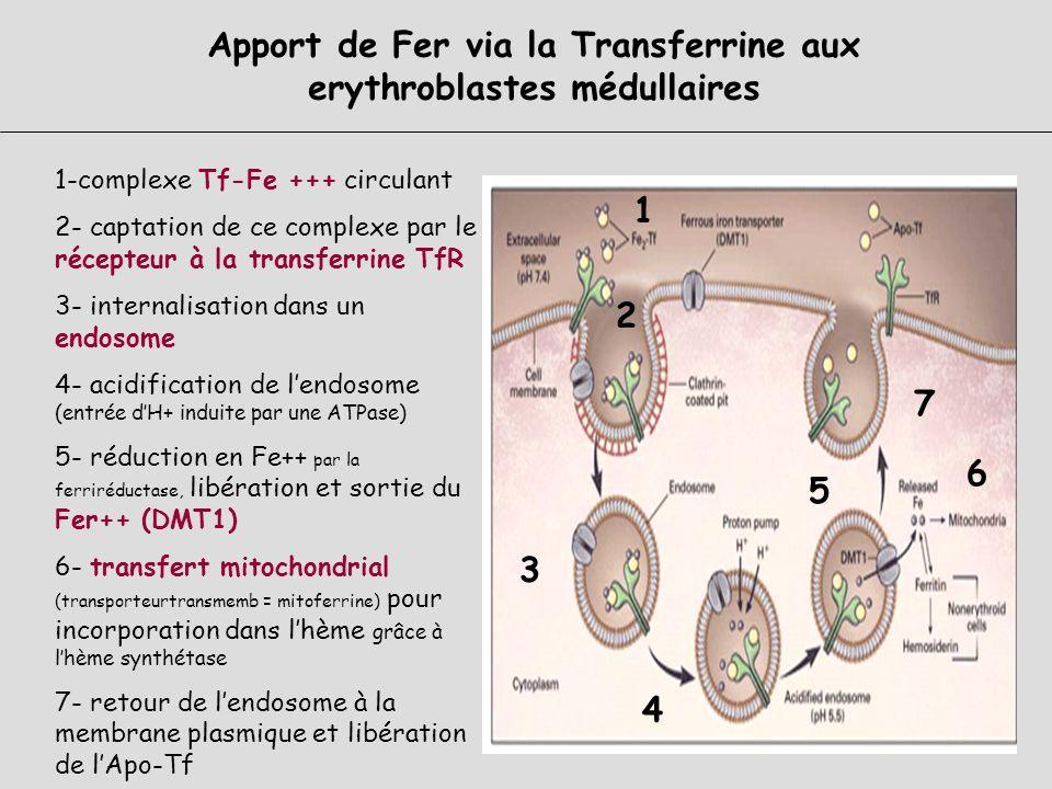 Apport de Fer via la Transferrine aux erythroblastes médullaires