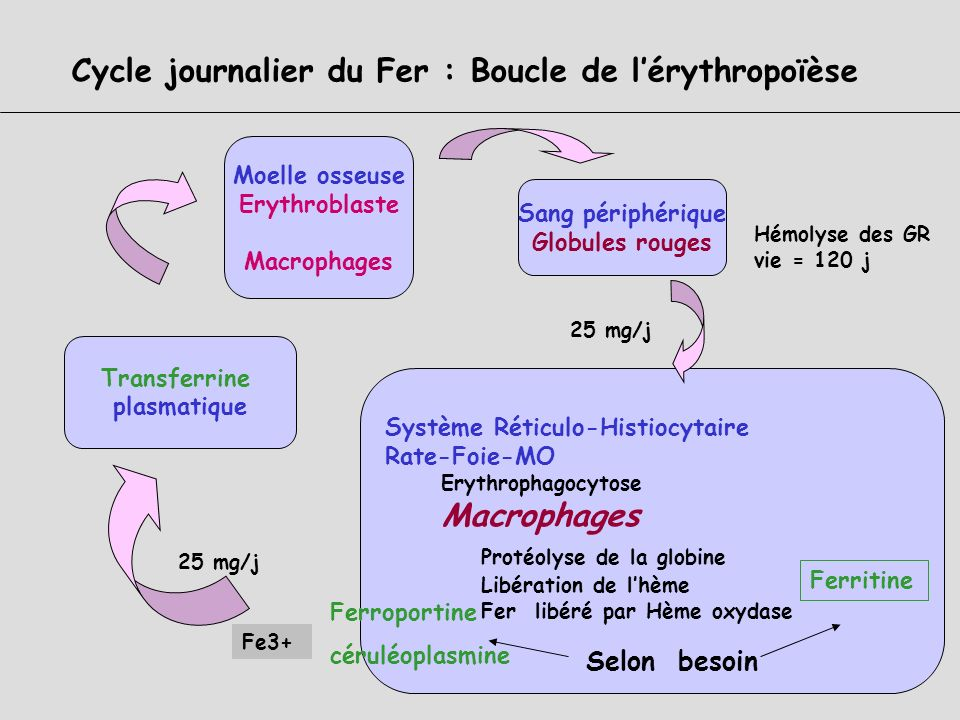 Cycle journalier du Fer : Boucle de l'érythropoïèse