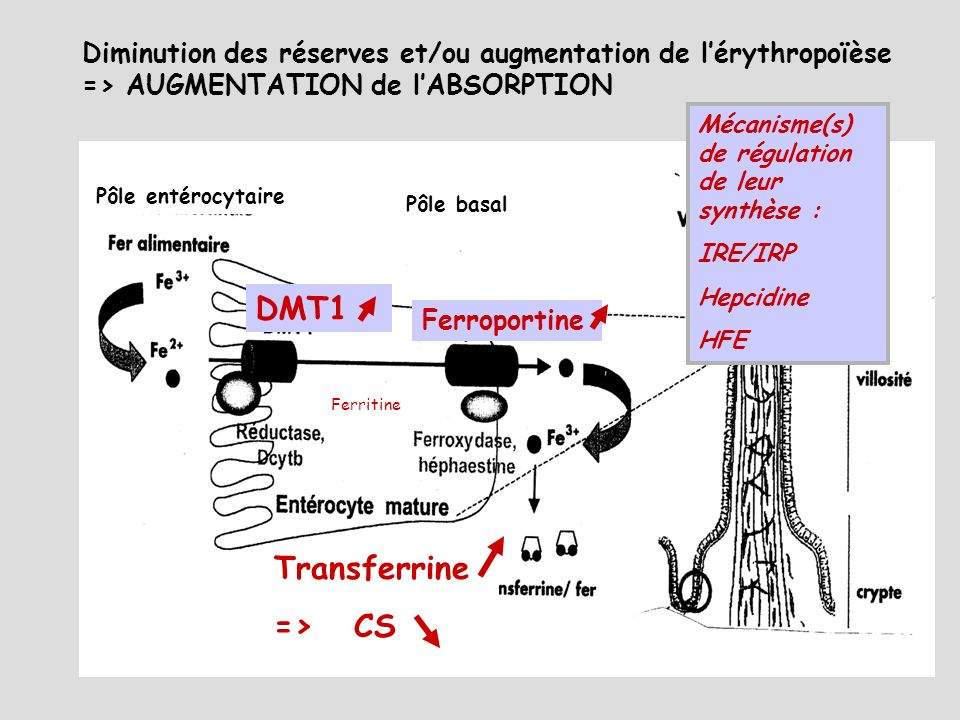 DMT1 Transferrine => CS