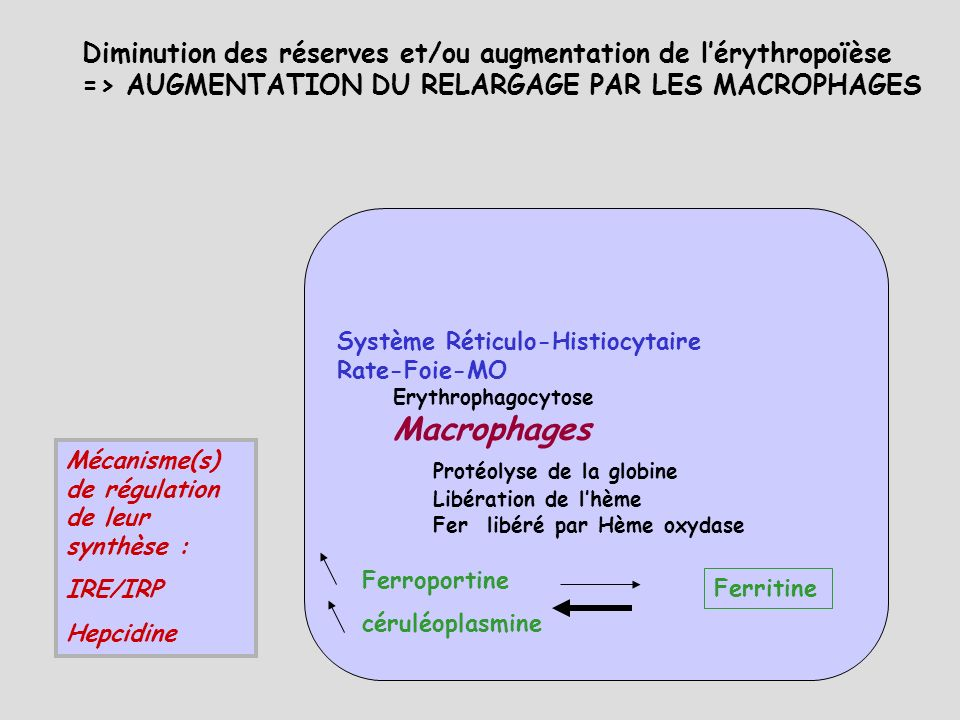 Protéolyse de la globine