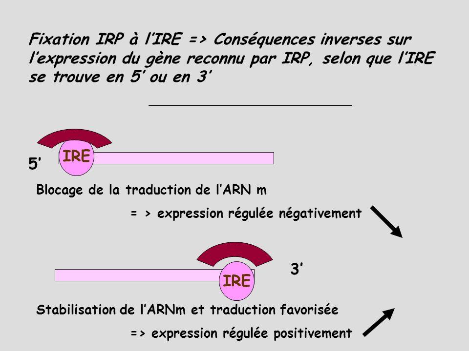Fixation IRP à l'IRE => Conséquences inverses sur l'expression du gène reconnu par IRP, selon que l'IRE se trouve en 5' ou en 3'