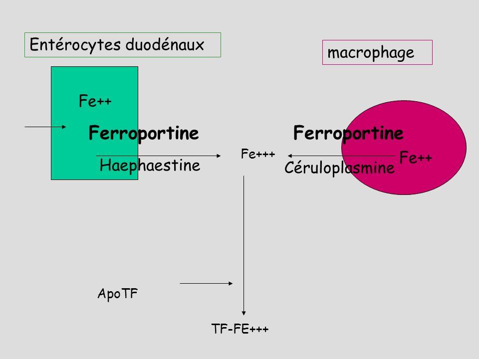 Ferroportine Ferroportine Entérocytes duodénaux macrophage Fe++ Fe++