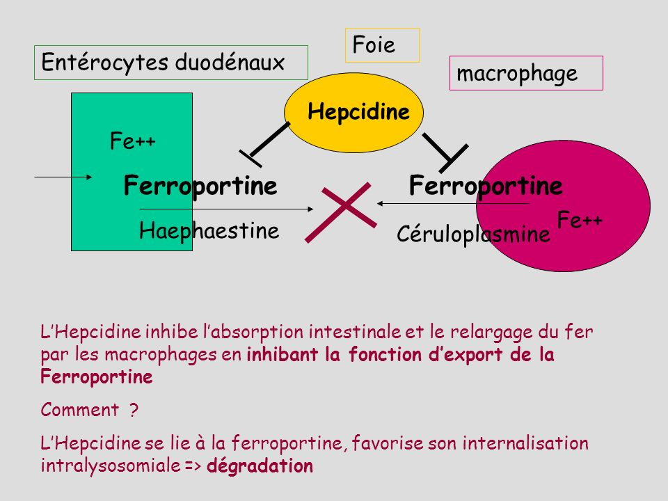 Ferroportine Ferroportine Foie Entérocytes duodénaux macrophage