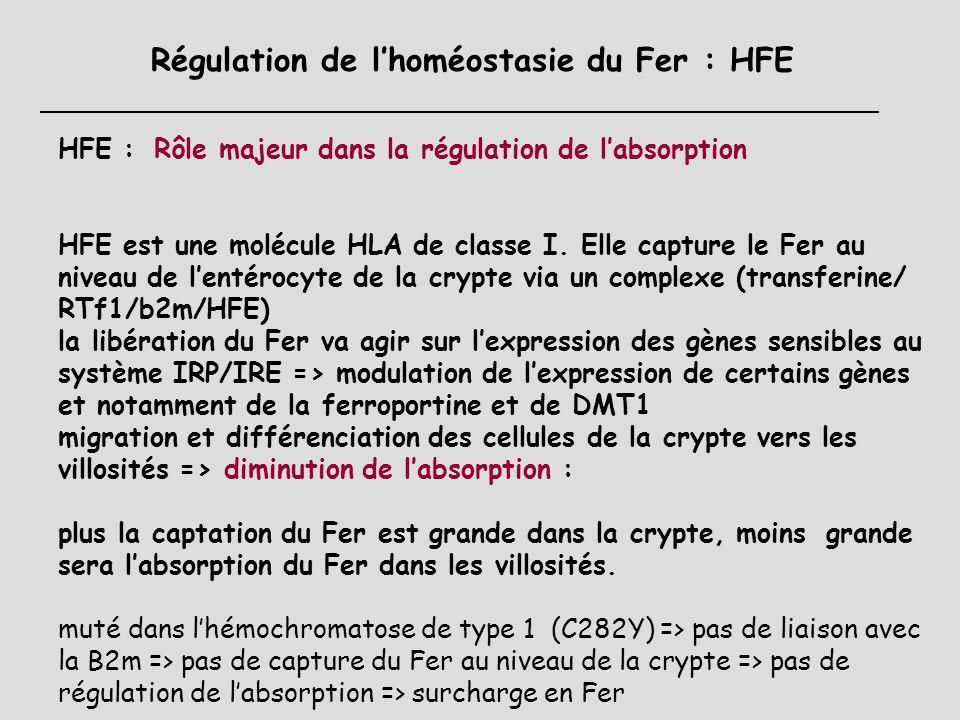 Régulation de l'homéostasie du Fer : HFE
