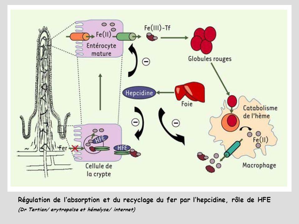 4j Régulation de l'absorption et du recyclage du fer par l'hepcidine, rôle de HFE.