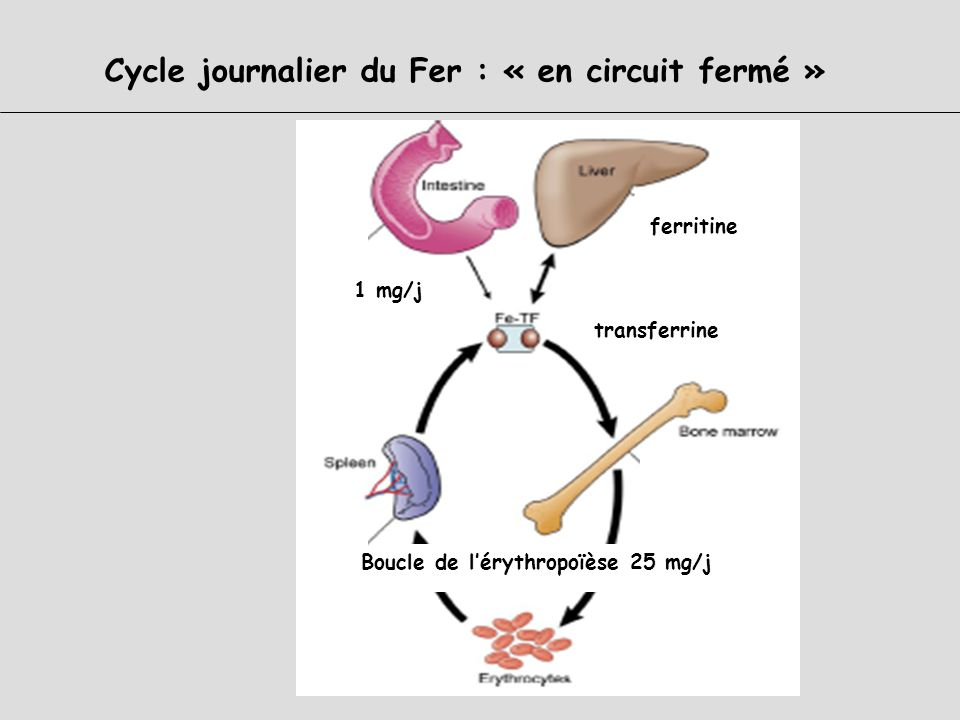 Cycle journalier du Fer : « en circuit fermé »