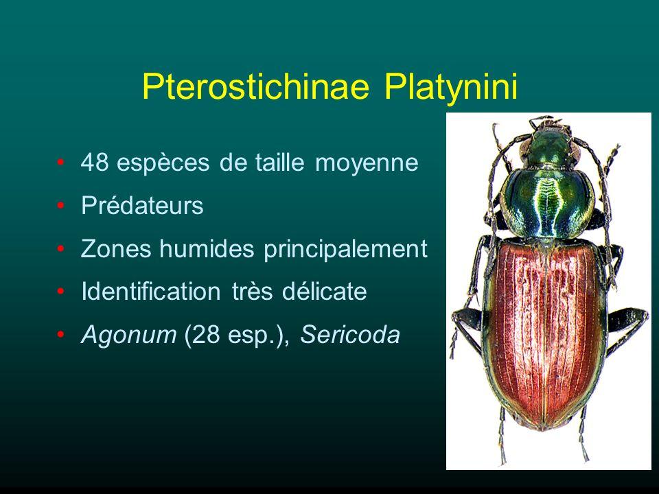 Pterostichinae Platynini