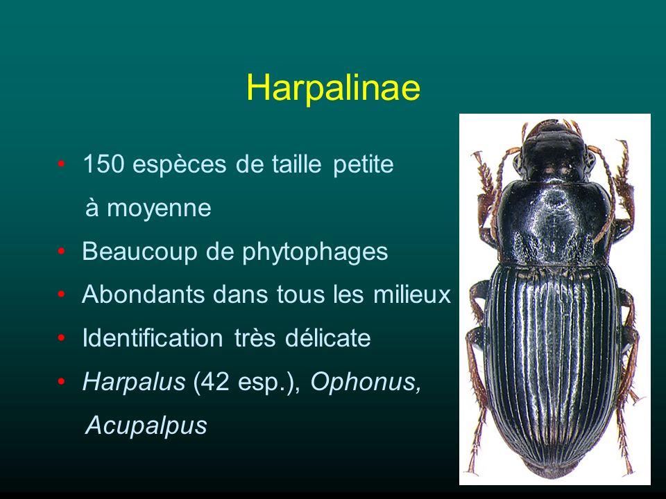 Harpalinae 150 espèces de taille petite à moyenne