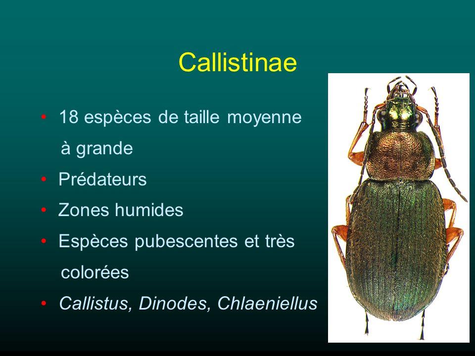 Callistinae 18 espèces de taille moyenne à grande Prédateurs