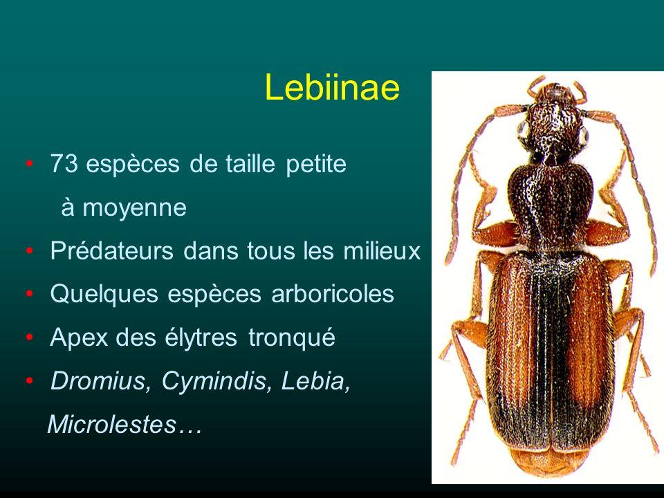 Lebiinae 73 espèces de taille petite à moyenne